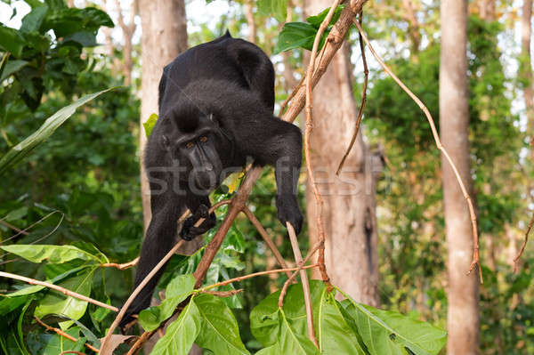 Stock photo: endemic sulawesi monkey Celebes crested macaque