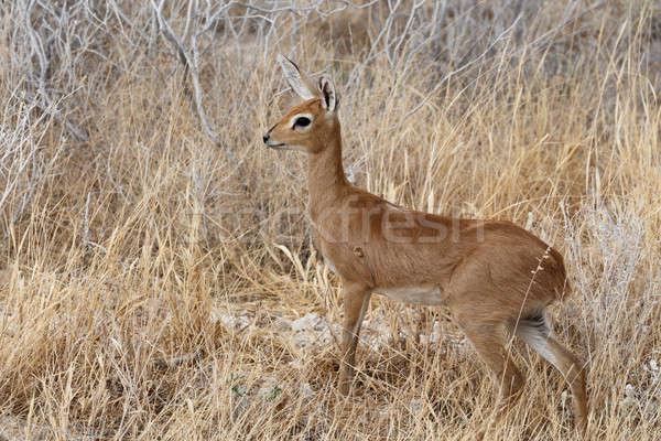 公園 ナミビア 小 アフリカ 茂み 自然 ストックフォト © artush