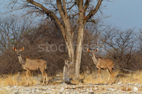 Rebanho maneira parque Namíbia animais selvagens fotografia Foto stock © artush