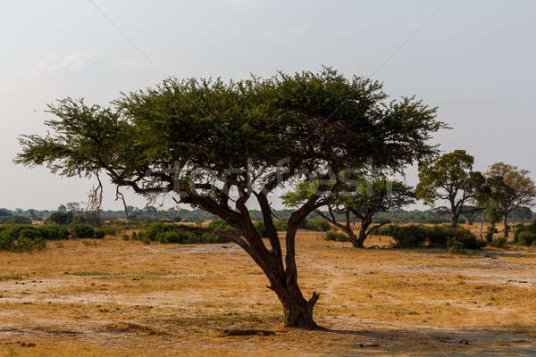 Stock photo: Large Acacia tree in the open savanna plains Africa