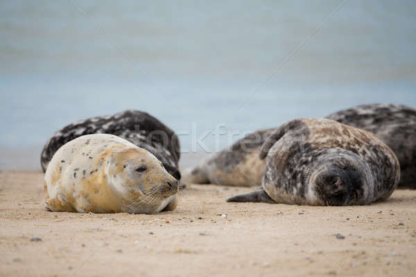 Young baby atlantic Grey Seal Stock photo © artush