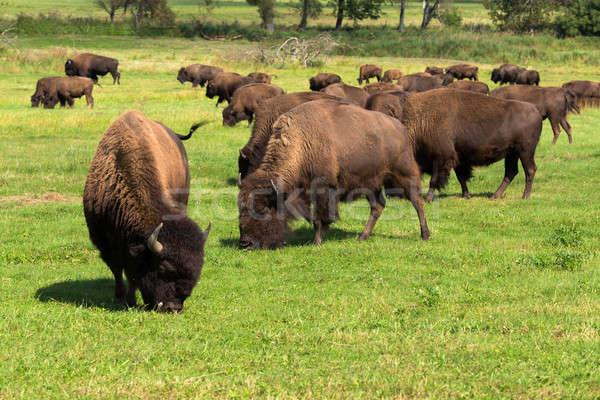 American bison(Bison bison) simply buffalo  Stock photo © artush