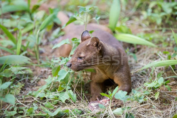 Carnivor mamifer Madagascar rezerva wildlife Imagine de stoc © artush