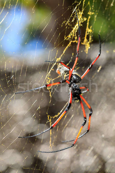 Golden silk orb-weaver on net Madagascar wildlife Stock photo © artush