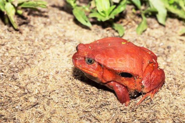 big red Tomato frogs, Dyscophus antongilii Stock photo © artush