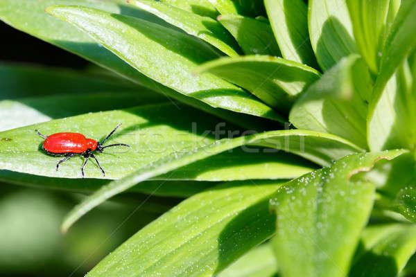 Macro photographie peu insecte faible ponderosa Photo stock © artush