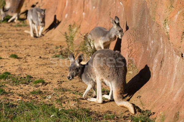 red kangaroo Stock photo © artush