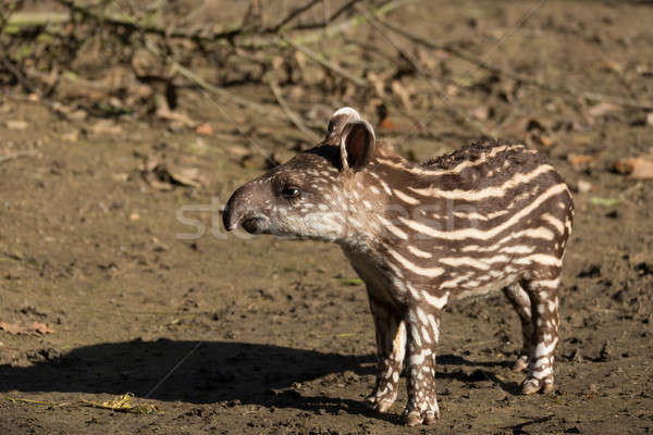 baby of the endangered South American tapir Stock photo © artush