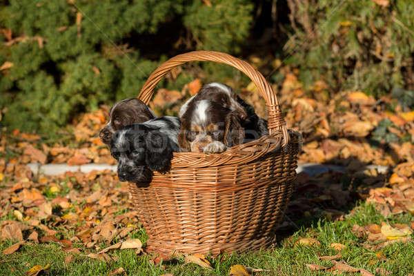 Engels puppy mand familie najaar outdoor Stockfoto © artush