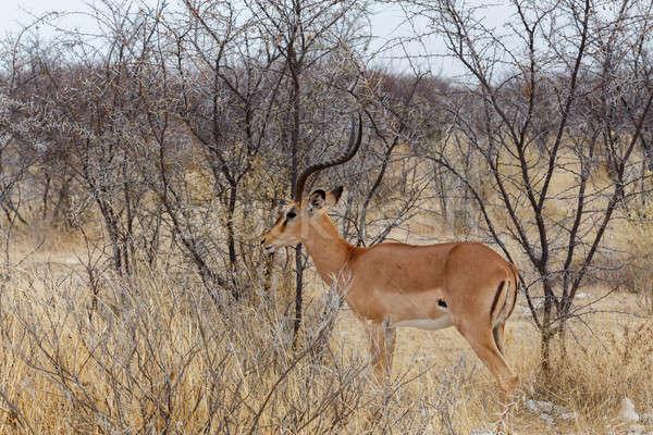 Portrait of Impala antelope male Stock photo © artush