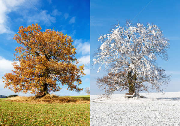 alone tree on two season Stock photo © artush