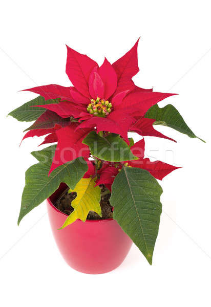 christmas flower red Poinsettia Stock photo © artush