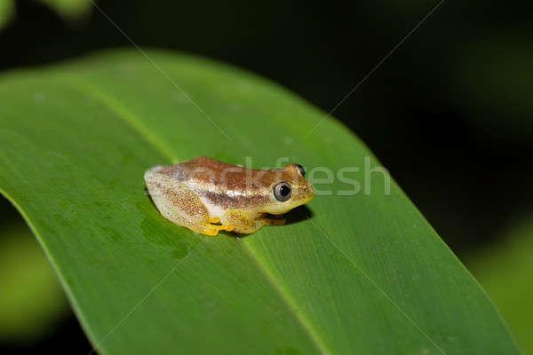 マダガスカル カエル 小 種 家族 公園 ストックフォト © artush