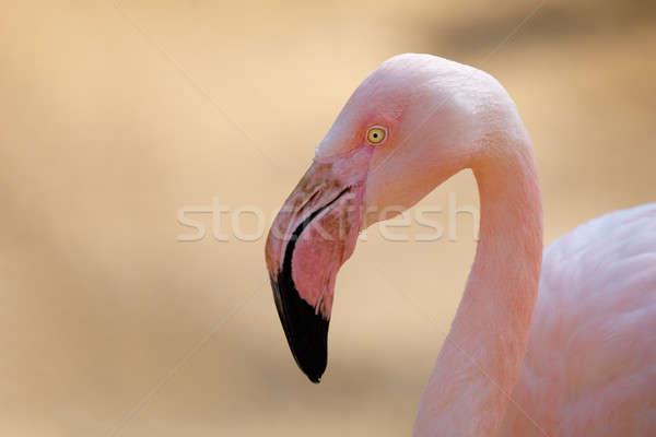 Rose flamingo (Phoenicopterus roseus) Stock photo © artush