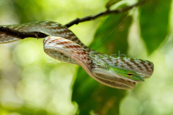 green Asian Vine Snake (Ahaetulla prasina) Stock photo © artush