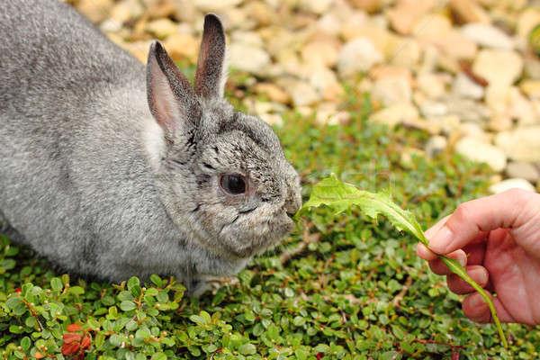 Mój domowych mały królik tuczący charakter Zdjęcia stock © artush