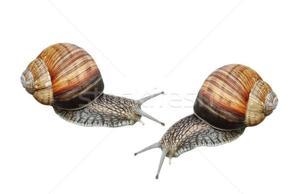 Two garden snails isolated Stock photo © artush