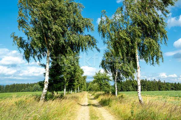 rural path with birch trees next to meadows Stock photo © artush