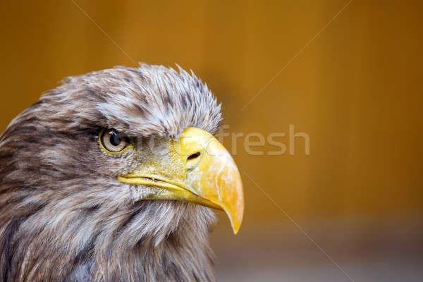 Big Sea Eagle (Haliaeetus albicill) looking ahead Stock photo © artush