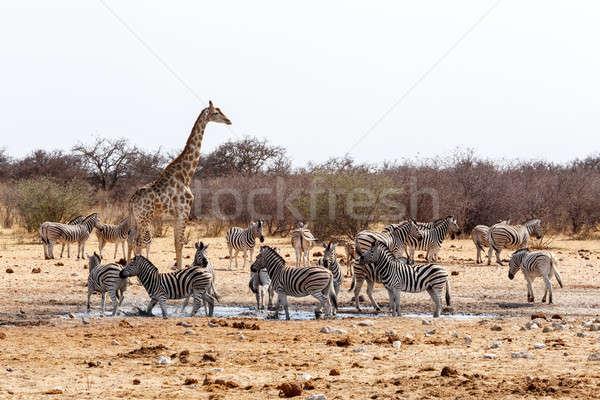 Giraffa camelopardalis and zebras drinking on waterhole Stock photo © artush