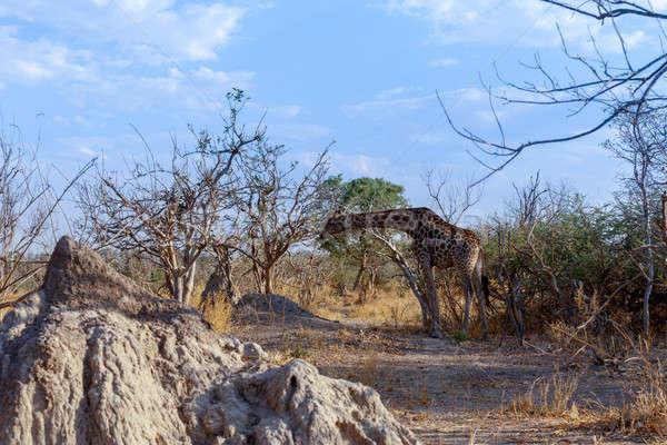 adult giraffe grazing on tree Stock photo © artush