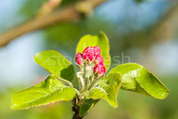 apple bud in spring  Stock photo © artush