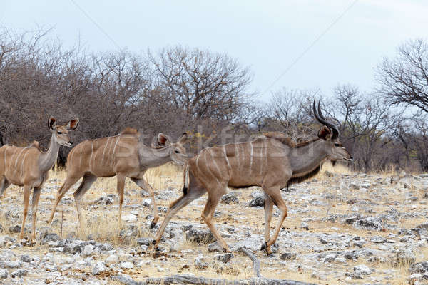 herd of Kudu on way to waterhole Stock photo © artush