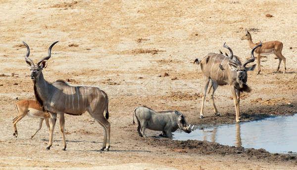 Iszik sáros egyéb állat park Botswana Stock fotó © artush