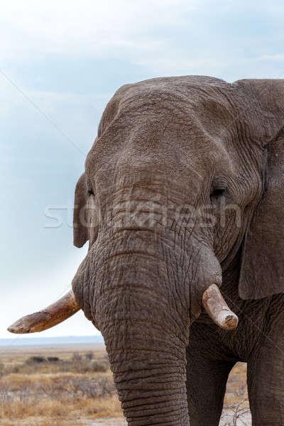 Stok fotoğraf: Büyük · Afrika · filler · portre · park · Namibya