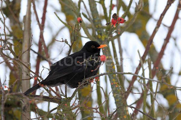 Férfi fekete madár tél fekete rigó fa Stock fotó © artush