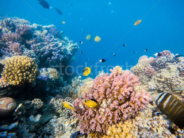 school of fish on coral garden in red sea, Egypt Stock photo © artush