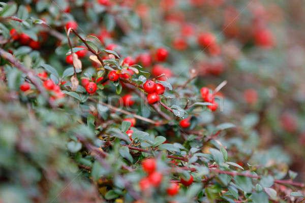 autumn berries red gaultheria Stock photo © artush