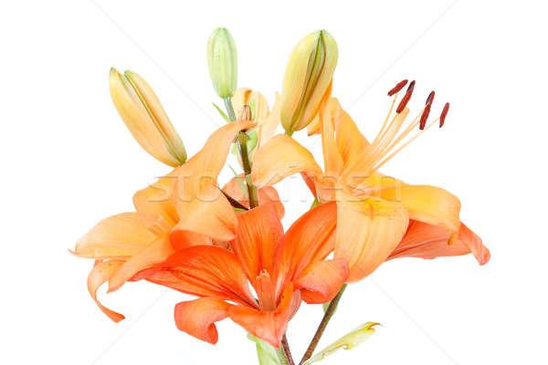 Detail bloei oranje lelie geïsoleerd Stockfoto © artush