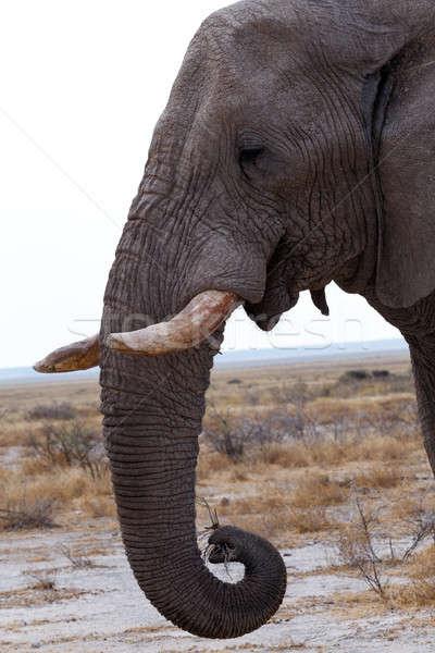 big african elephants on Etosha national park Stock photo © artush