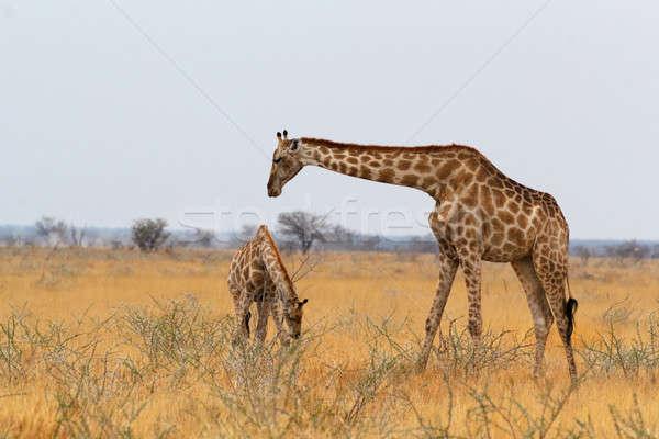 Felnőtt női zsiráf fa park Namíbia Stock fotó © artush