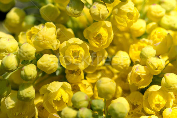 Oregon Grape (Mahonia aquifolium) Stock photo © artush