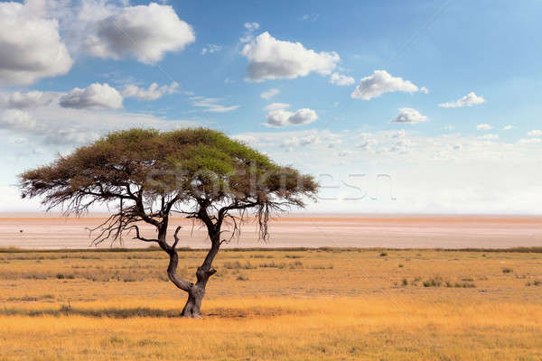 Large Acacia tree in the open savanna plains Africa Stock photo © artush