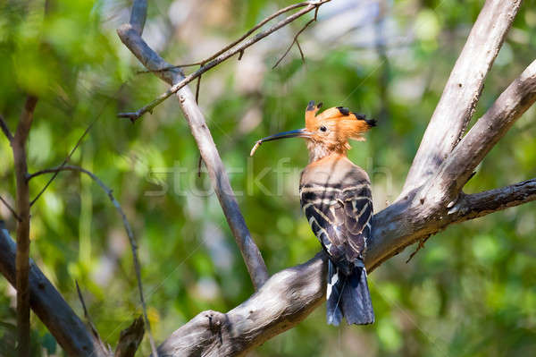 Endemic bird Madagascan hoopoe Madagascar Stock photo © artush