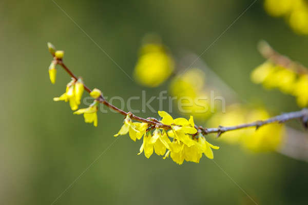 Blooming forthysia tree in spring Stock photo © artush