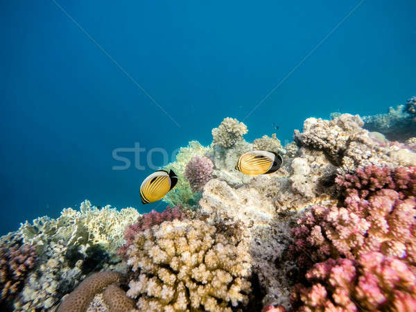 Blacktail butterflyfish on Coral garden in red sea, Marsa Alam,  Stock photo © artush