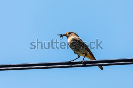 bird Black redstart with insect in beak Stock photo © artush