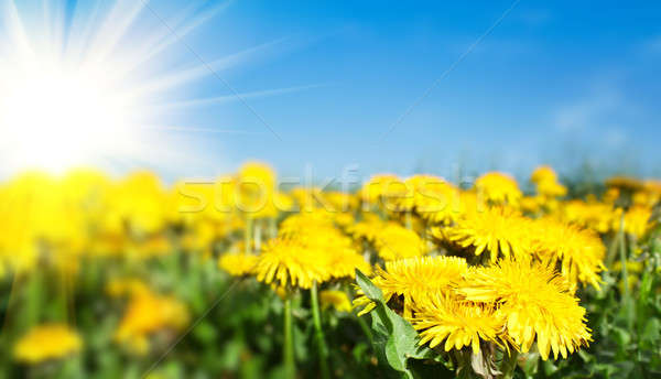 Field of spring flowers dandelions and perfect sunny day  Stock photo © artush