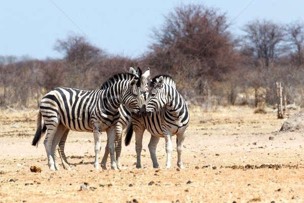Zebra in african bush Stock photo © artush