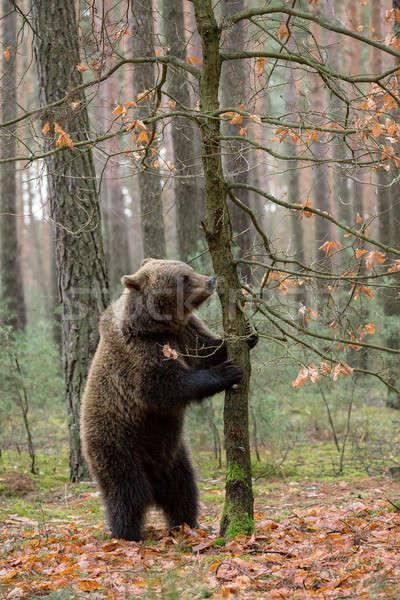 Bruine beer winter bos groot vrouwelijke permanente Stockfoto © artush