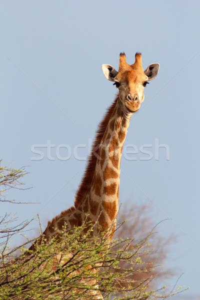 Giraffa camelopardalis near waterhole Stock photo © artush