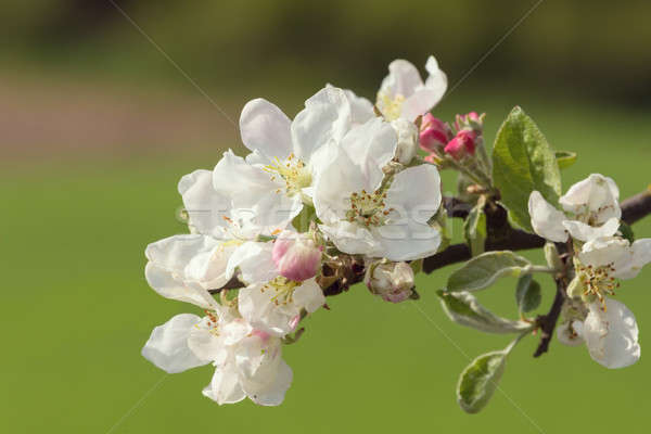 Blüte Blüte Apfel Frühling Apfelbaum grünen Stock foto © artush