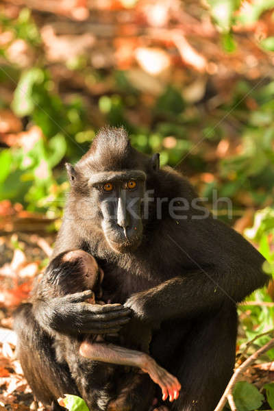 sulawesi monkey with baby Celebes crested macaque Stock photo © artush