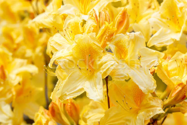 Yellow azalea rhododendron flowers in full bloom  Stock photo © artush