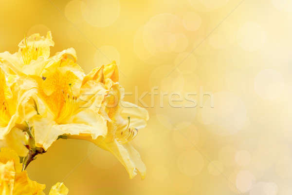 yellow rhododendron azalea with shallow focus and bokeh Stock photo © artush
