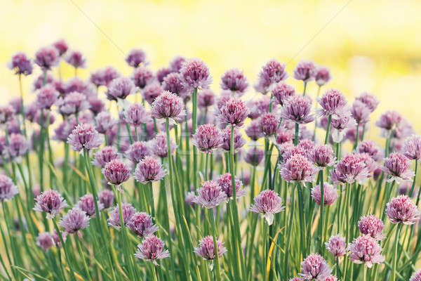 Chive herb flowers on beautiful bokeh background Stock photo © artush